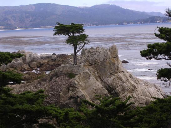 The Lonely Pine. Parc de les 17 milles al Big Sur. Califòrnia.