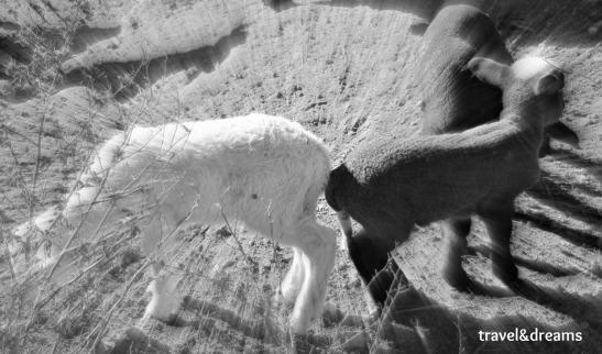 Ovelles. La Garrotxa / Sheeps in La Garrotxa