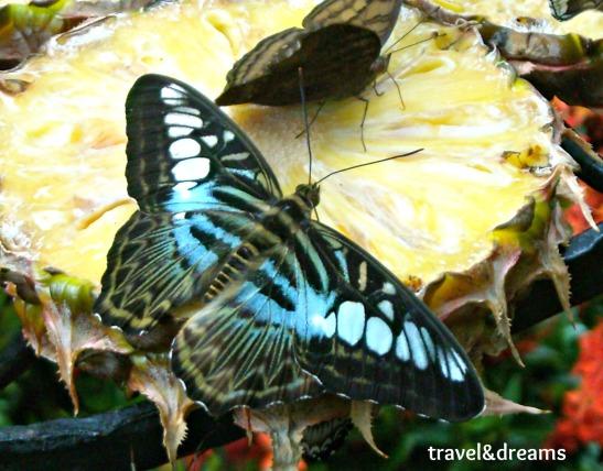 Mariposari. Aeroport Shangi. Singapore / Butterfly Garden at Shangi Airport. Singapore