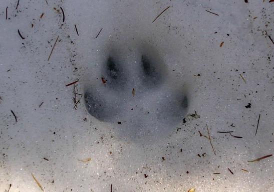 Emprempta de llop al Parc National de La Mauricie. Quebec / Footprint of a wolf in Parc National La Mauricie. quebec