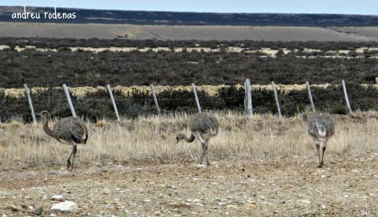 Ñandús. Patagonia Argentina