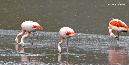 Flamencs a Rio Turbio / Flamingos in Rio Turbio