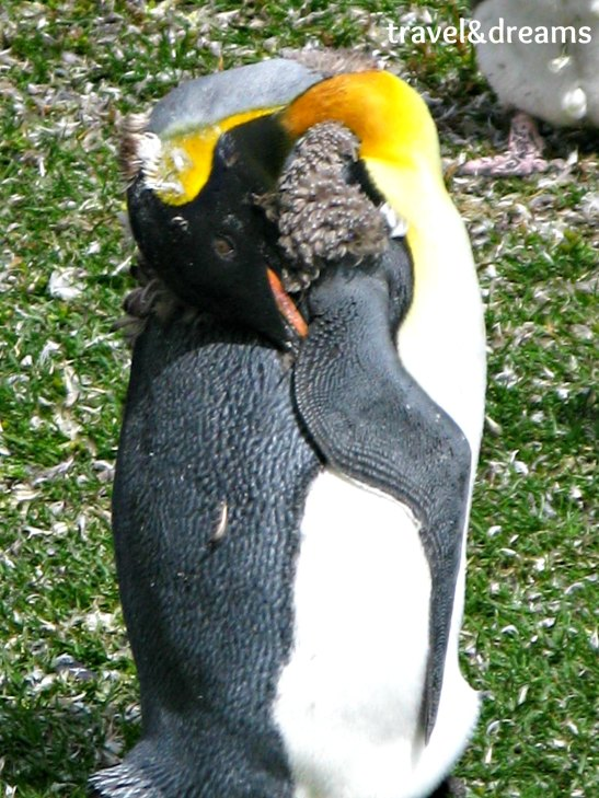 Pingüi rey / King Penguin