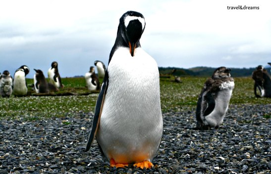 Pingüi Papua/Papua Penguin