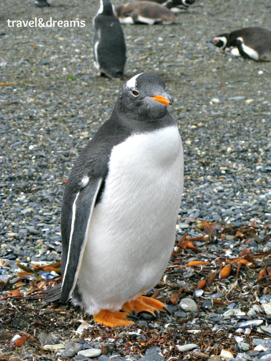 Pingüi magallànic/Magallanic penguin
