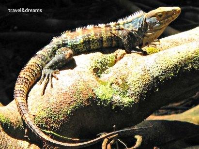 Iguana. P.N. Corocvado