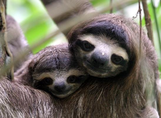 Mnadrós / Perezoso / Sloth
