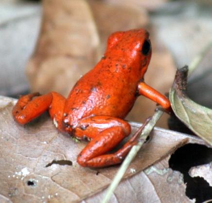 "Granota / Rana  / Frog ""Punta de Flecha Roja"""