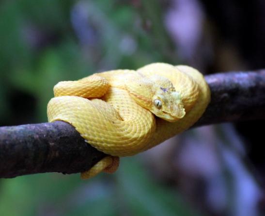 Oropel amarilla o Bocaracá amarilla