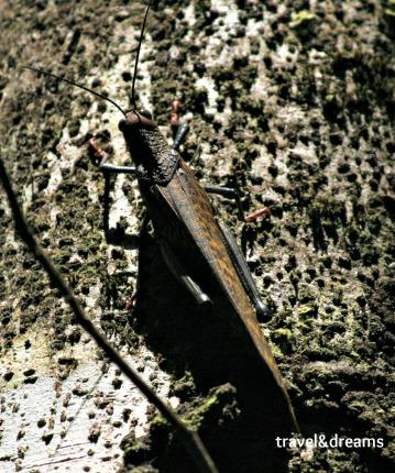 Grashoppers. P.N.Corcovado