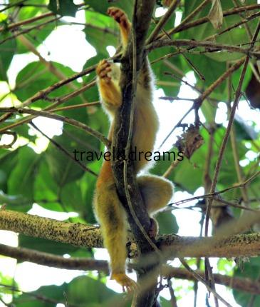Mono Tití. P.N.Corcovado